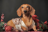 Dachshund and Christmas decorations — Photo