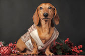 Dachshund and Christmas decorations — Stock Photo