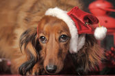 Dachshund in Santa hat — Stock Photo