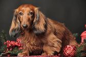 Decoraciones de navidad y perro salchicha — Foto de Stock