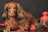 Dachshund and Christmas decorations — Stock fotografie