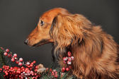 Dachshund and Christmas decorations — Stockfoto