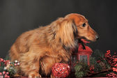 Dachshund and Christmas decorations — Stok fotoğraf