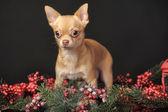 Chihuahua Christmas — Stock Photo