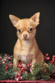 Chihuahua noël — Photo