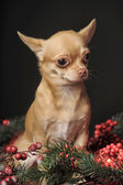 Chihuahua with fir tree — Stock Photo