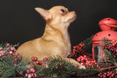 Chihuahua Christmas — Photo