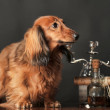 Stock Photo: Long-haired dachshund