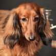 Stock Photo: Long-haired dachshund studio