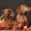 Brown dachshunds — Stock Photo #35571189