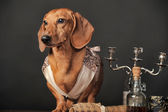 Dachshund in vintage clothes — Stock Photo
