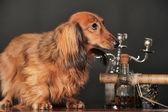 Long-haired dachshund — Foto de Stock