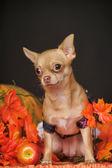 Chihuahua autumn leaves — Stock Photo