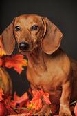 Teckel brun — Photo