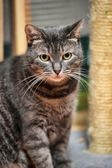 Beautiful young tabby shorthair cat — Stock Photo