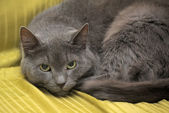 Russian blue beautiful gray cat — Stock Photo