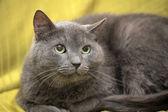Rosyjski niebieski piękny szary kot — Zdjęcie stockowe