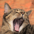 Tabby cat yawns — Stock Photo