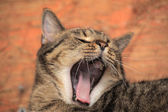 Tabby cat yawns — Foto Stock