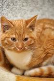 Rossa carina con bianco gattino 4 mesi — Foto Stock