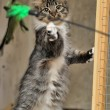 Fluffy kitten catches toy — Stok Fotoğraf #36677265
