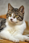 Пушистая кошка — Стоковое фото