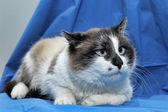 Rakietach śnieżnych kot — Zdjęcie stockowe