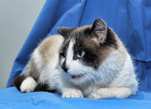 A Snowshoe Siamese cat — Photo