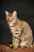 Young tabby cat on a dark background. — Stock Photo