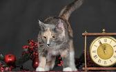 虎斑小猫 — 图库照片