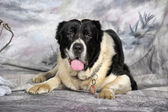 Black and white alabai dog — Stock Photo