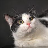 Czarno-biały kot — Zdjęcie stockowe