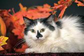 Cat autumn leaves — Stock Photo