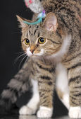 Striped cat — Stockfoto