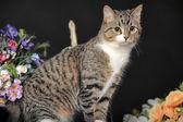 Strakaté kočka — Stock fotografie
