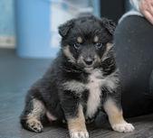 Tibet-dogge — Stockfoto