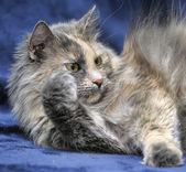 Puszyste kot — Zdjęcie stockowe