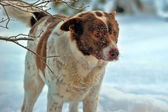 Dog in winter — Stock Photo