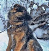 Pes na řetězu — Stock fotografie