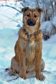 Dog on chain in winter — Stock Photo