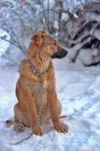 Lonely dog in winter — Stock Photo