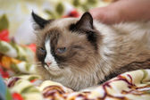 Beautiful three-colored fluffy cat — Stock Photo