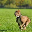 Running pitbull — Stock Photo #39693787