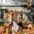 Brown pitbull — Stock Photo #39694887