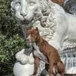 Pitbull near lion — Stock Photo #39695299
