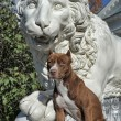 Pitbull near lion — Stock Photo #39695393