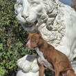 Pitbull near lion — Stock Photo #39695473