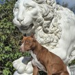 Pitbull near lion — Stock Photo #39695491