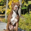 Brown pitbull — Stock Photo #39695577