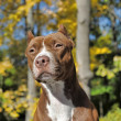 Brown pitbull — Stock Photo #39695621